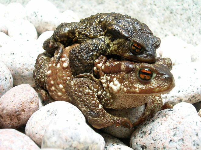 Bufo_bufo_couple_during_migration(2005)